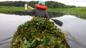 a voluntter removes a canoe-ful of invasive aquatic plants