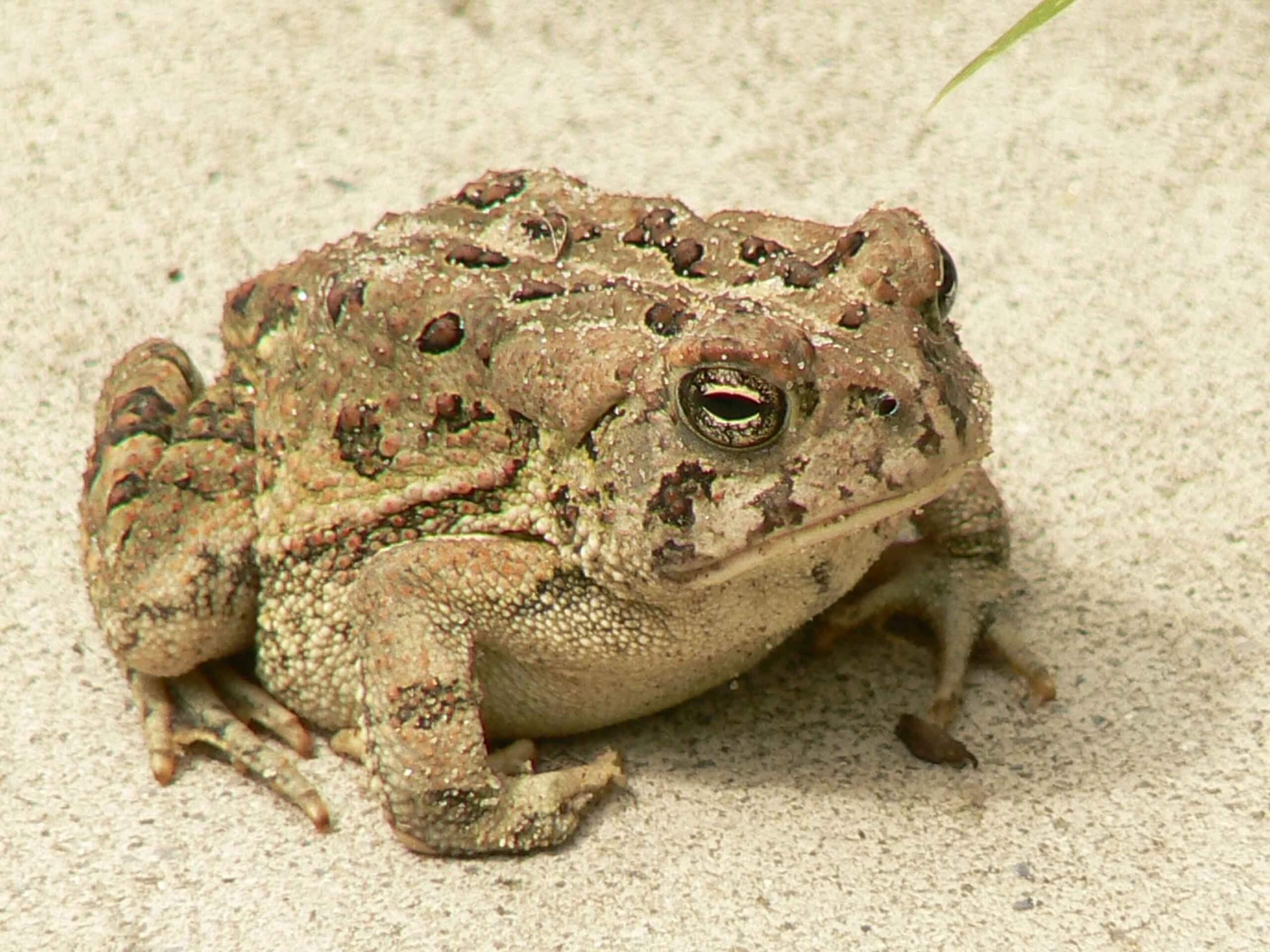 Anaxyrus Fowleri_Fowlers Toad
