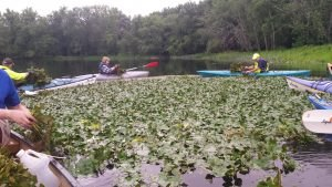 Water Chestnut Pull CT 7/9/16