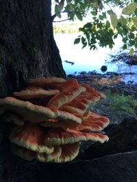 cinnabar red polypore along the connecticut